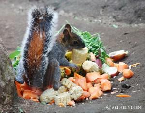 l'écureuil est parfois un voleur d'énergie