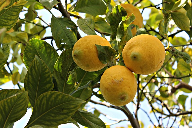 citrons pour préparer un jus de citron à jeun le matin